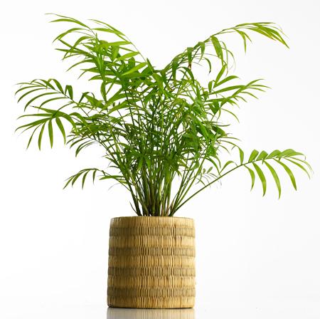 areca - Office Plants